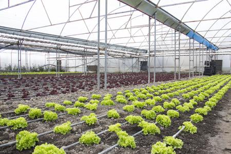 Reihen der grünen und roten Anlagen auf modernem Bauernhof für wachsenden Kopfsalat Standard-Bild - 79170364