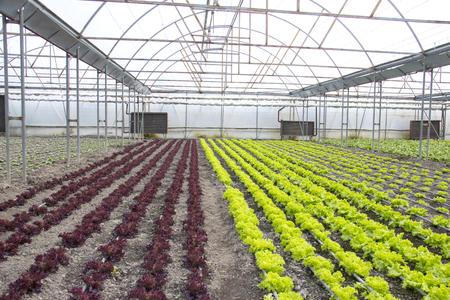 Reihen der grünen und roten Anlagen auf modernem Bauernhof für wachsenden Kopfsalat Standard-Bild - 79170367