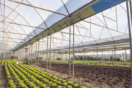 Reihen von grünen und roten Pflanzen auf modernem Bauernhof für den Anbau von Salat Standard-Bild - 79170365