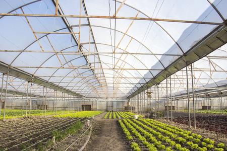 Reihen von grünen Pflanzen auf modernen Bauernhof für wachsende Salat Standard-Bild - 79170368