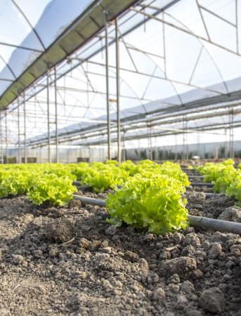 Closeup von grünen Salat Pflanzen auf dem Bauernhof Standard-Bild - 80989106