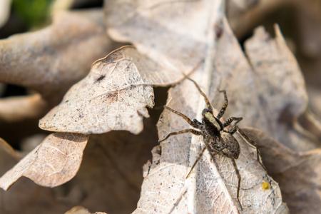 Spider runs across the leafs. Macro photo.