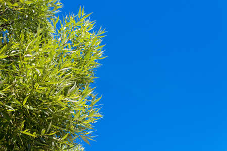 Close up of green willow leaves against a blue sky