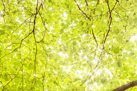 Bright light streaming through the green linden leaves Lizenzfreie Bilder