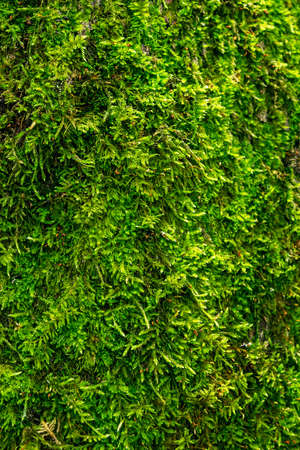 Close-up of green wet moss. Vegetation background.