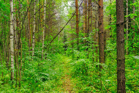 Winding path in the green summer forest