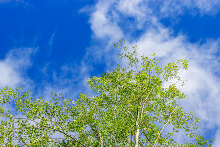 aspen grove: View up at the blue sky from the aspen grove