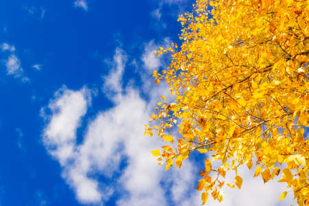 Yellow leaves on the branches of poplar trees against the blue sky