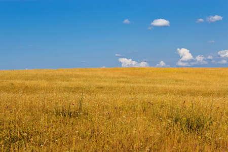 Blue cloudy sky over a yellow summer field