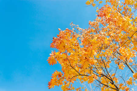 Yellow and orange maple leaves against the blue sky