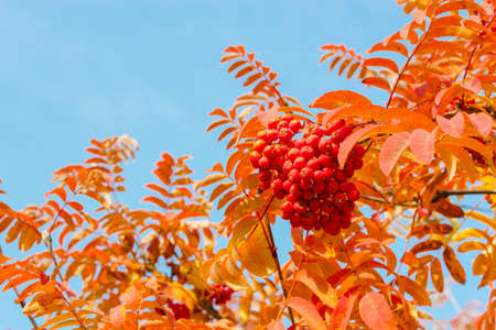 Red rowan leaves and berries against the blue sky
