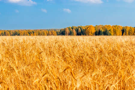 Yellow rye field on a background of autumn forest Stock Photo