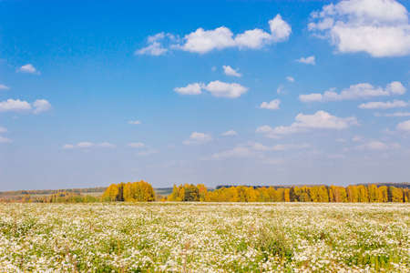 Field of blooming daisies and autumn forest at the horizon