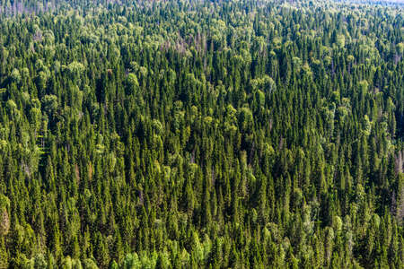 View of the northern spruce forest from above. Russia