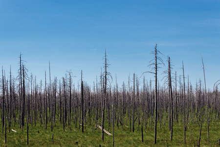 arboles secos: bosque muerto en seco en el d�a del pantano del verano