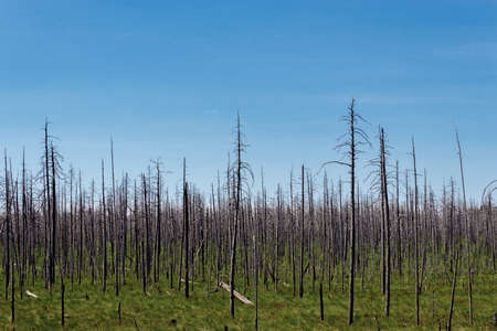 d�a de muertos: Dry dead forest in the swamp summer day