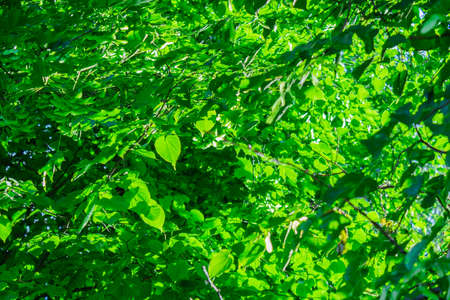 Bright light streaming through the green linden leaves Stock Photo