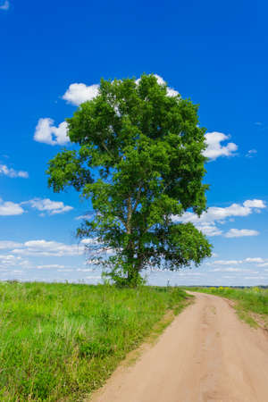 High poplar in the field a sunny summer day