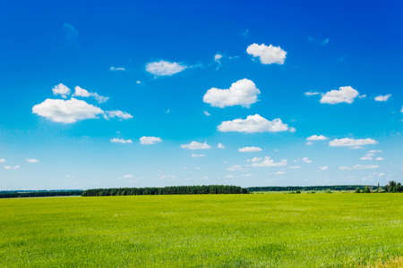 The green wheat field and forest forest summer day