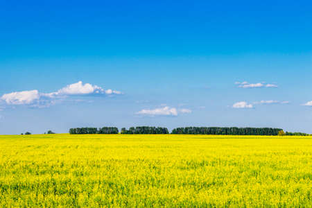 Yellow rapeseed field on a sunny summer day