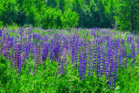 Wild lupine flowers in a meadow on a summer day