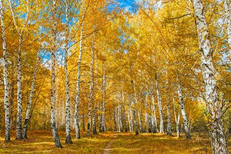 秋の白樺の森 写真素材 - 82442314