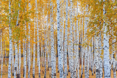 A yellow birch forest on a fall day