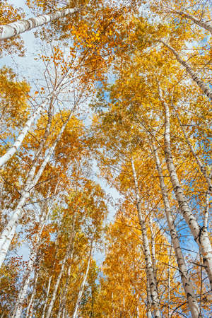 View up on the tops of yellow birches on a fall day