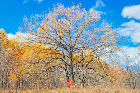 oak in the autumn forest Stock Photo