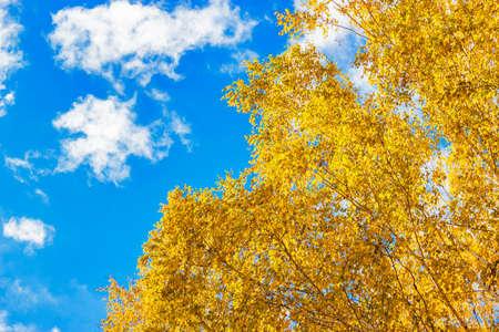 autumn colour: yellow birch leaves Stock Photo