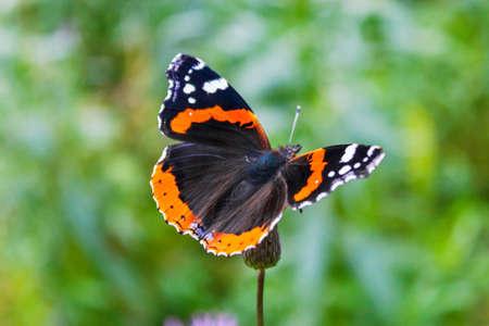 vanessa atalanta butterfly on a crsium plant closeup Stock Photo