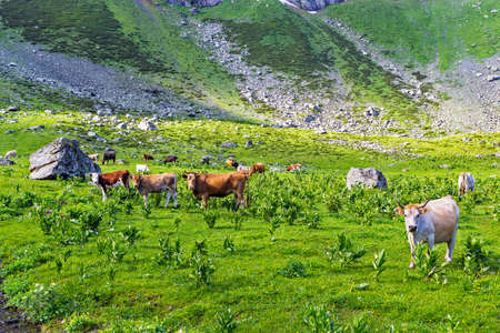 cows with calves in a meadow in the highlands