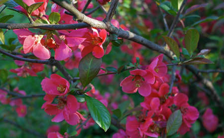 membrillo: blooming japanese quince tree branch