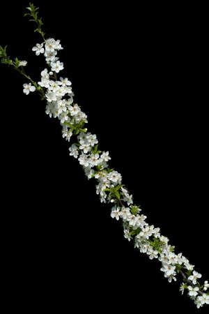 Blooming cherry tree branch Stock Photo