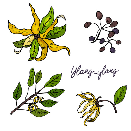 Ylang-ylang. Set of hand drawn objects isolated on white background. Black outline and color stains and drips. Vector Illustration Illustration