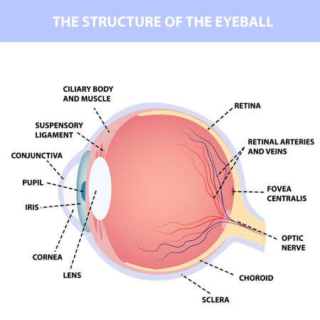 Human eye anatomy, designation, for poster or teaching material medical illustration