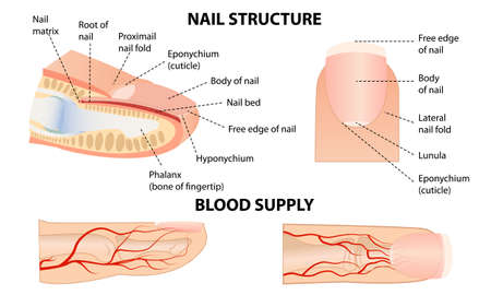Anatomical training poster. Fingernail Anatomy. Cross-section of the finger. Structure of human nail.