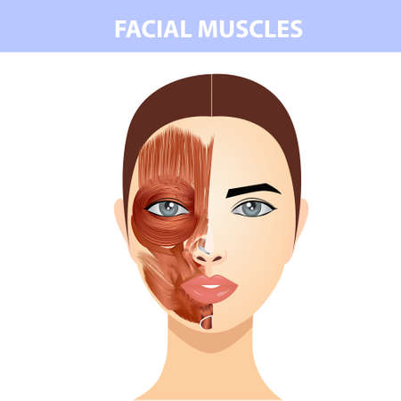 The structure of the muscles of the female face and neck, half of the muscles of the face and half of the skin.
