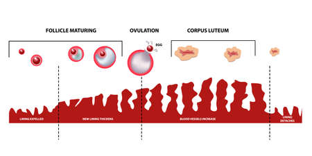 Scheme of ovulation. Female menstrual cycle, phases.