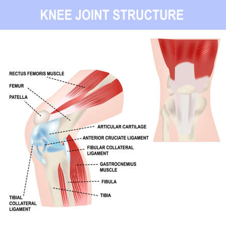 Knee joint structure, vector illustration, medical poster and teaching materials.