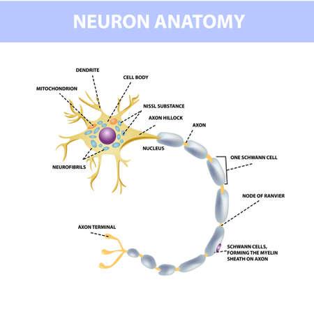 Neuron, axon of nerve cells. Neuron structure, vector