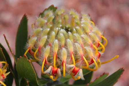 nodding: Nodding Pincushion Protea flower head opening.