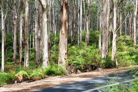 karri: Karri Forest south west Australia Boranup Highway Stock Photo