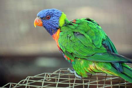 Multicoloured Australian Rainbow Lorikeet on Wire Stock Photo - 16055961
