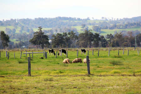australian beef cow: Australian rural farm paddock with sheep and cattle grazing Stock Photo