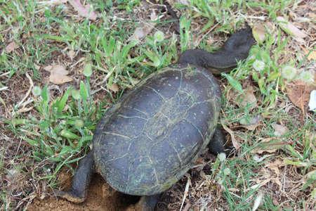 necked: Australische lange hals moeras schildpad graven gat voor eieren