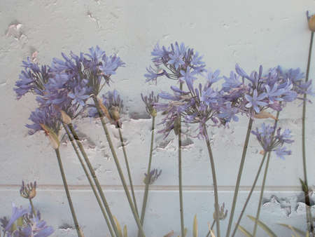 rendition: Blue agapanthus  flowers in grunge rendition on white background