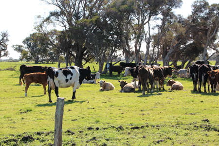 australian beef cow: Herd of cattle near gum trees in green grassy paddock on Australian farm