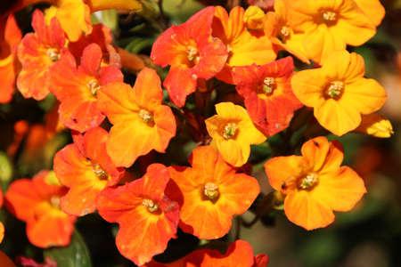 stamen wasp: Browallia jamesonii in full bloom in winter