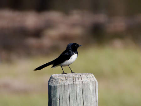 chirpy: Little willie wagtail perched on wooden post in park